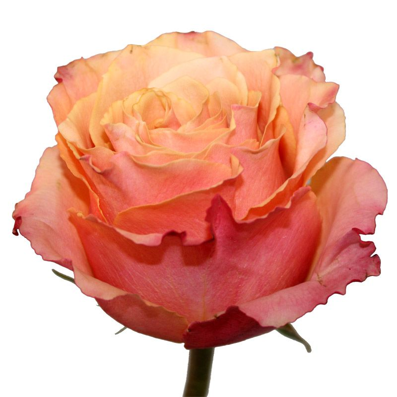 "Роза ""3D"" 70 см."