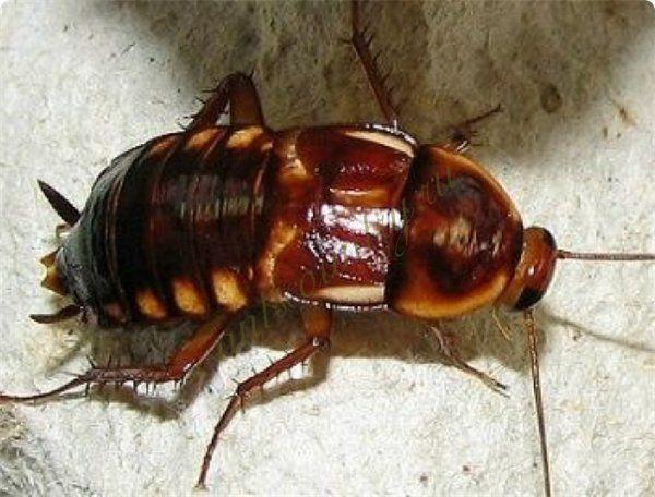 Оотеки  тараканов