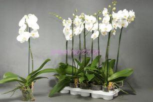 Орхидея Белая 1ст. 12/60