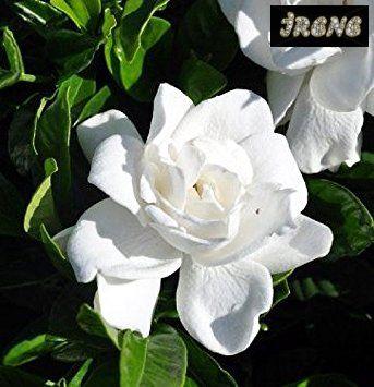❃ Summer Snow® Gardenia ❃