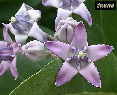 ❃ Calotropis gigantea purple (Калотропис гигантский, фиолетовые цветы) ❃