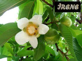 ❃Дилления индийская (Dillenia indica) ❃