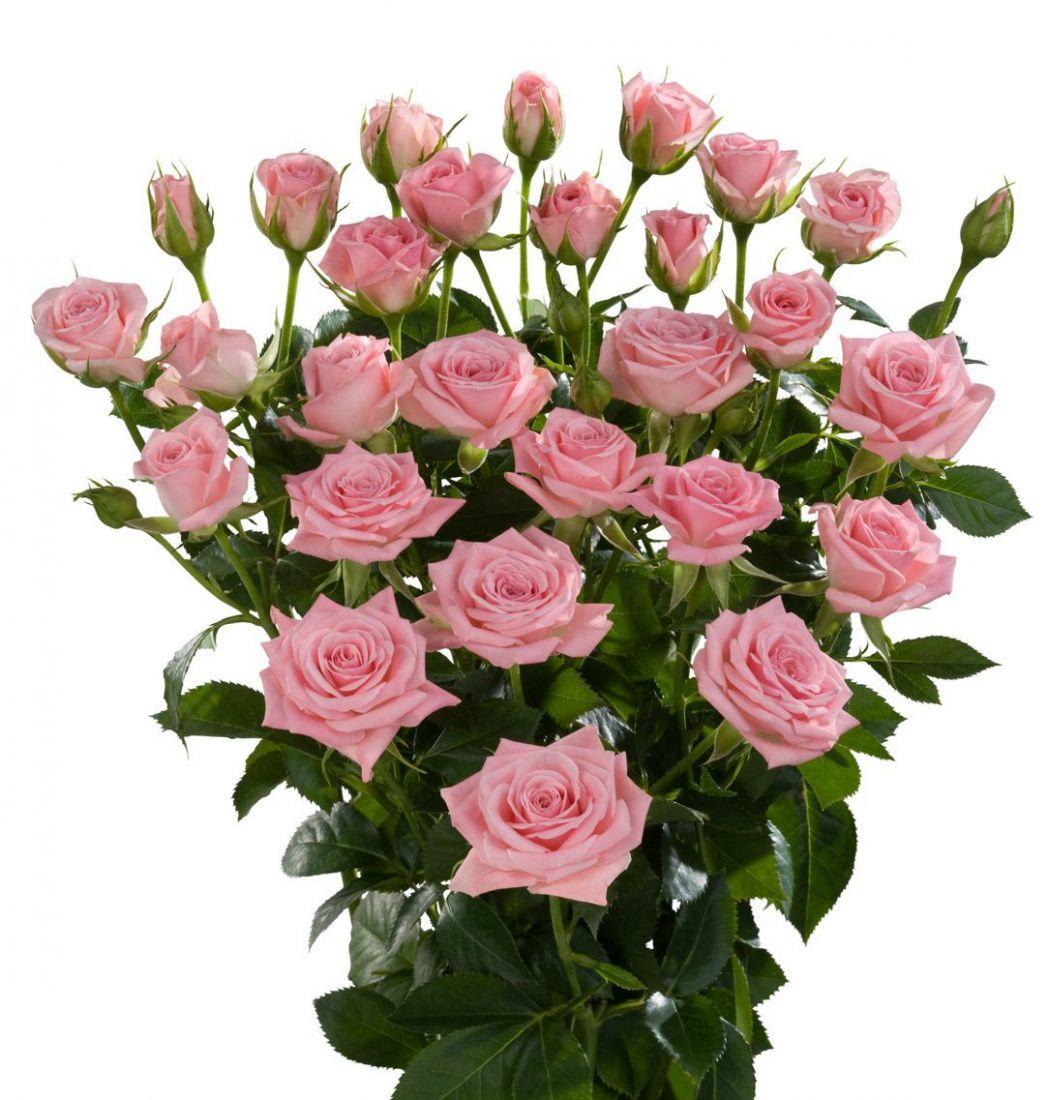 Роза (кустовая)
