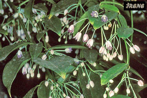 ❃ Голбеллия кожистая ( Holboellia coriacea ) ❃