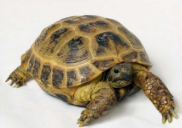 Черепаха сухопутная степная