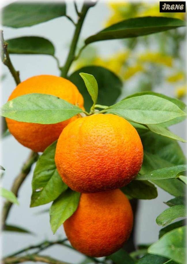 """Citrus sinensis """"SANGUINELLO"""" Апельсин"""