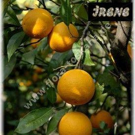 """(Апельсин) Citrus sinensis """"VAINIGLIA APIRENO"""""""