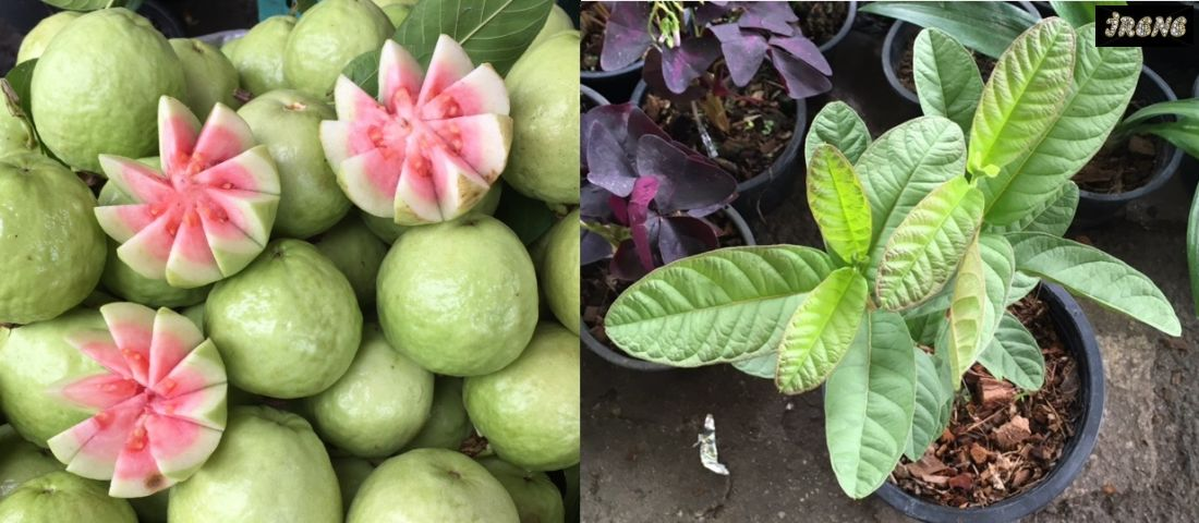 Psidium guajava pink flesh (round fruit)