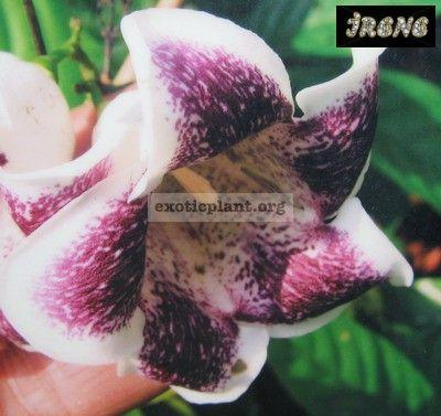 Rothmannia sp. (aff R. winitii) wax leaf