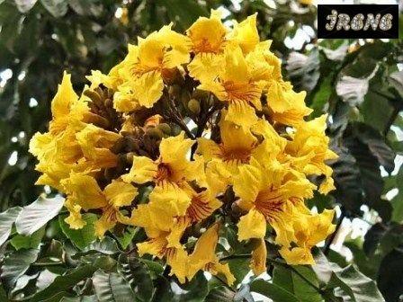 Markhamia Lutea, Золотая Маркхамия или Тюльпанное Дерево Нила