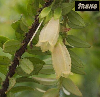 Agapetes serpens Nepal Cream