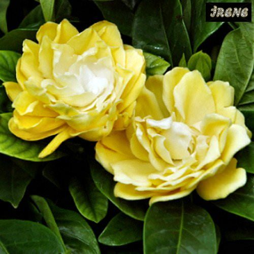 Gardenia Golden Magic