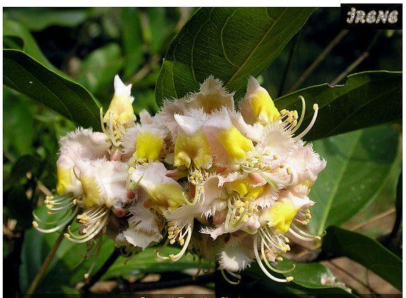 Хиптаже бенгальский, Hiptage benghalensis