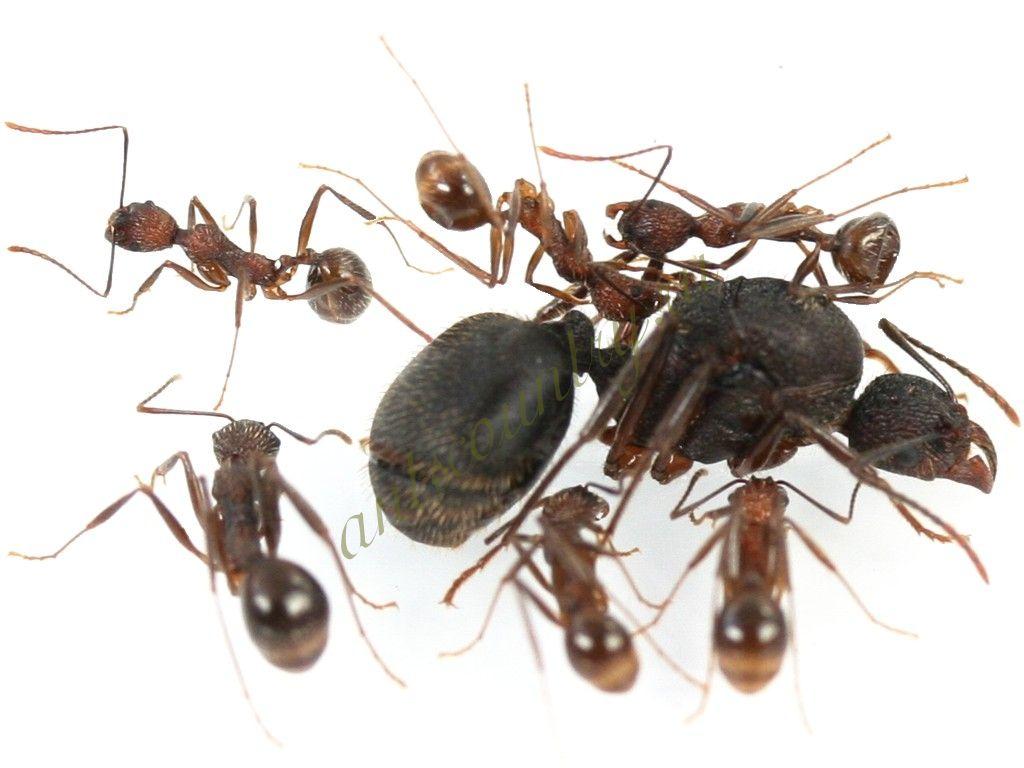 Aphaenogaster schurri