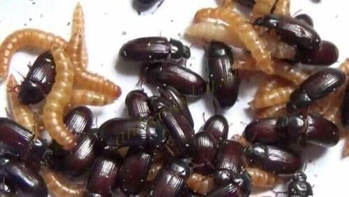 Жук знахарь(жуки+личинки)