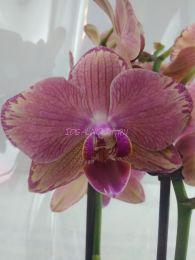 Орхидея Пират Пикоте ( Pirate Picotee  )
