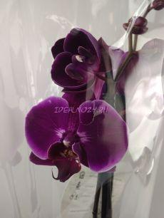 Орхидея микс 12/65