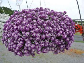 № 360 Петуния Алиссум Lavender Stream