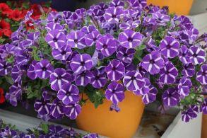 № 323 Петуния Cascadias Purple Gem