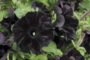 № 312 Петуния Sweetunia Black Satin