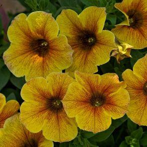 №114 Петуния Петхоа BeautiCal Caramel Yellow