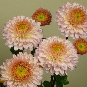 № 16 Хризантема Pompon Pink