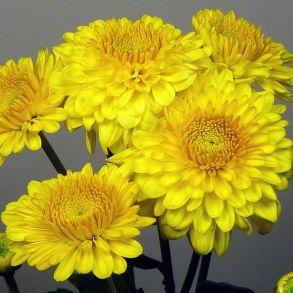 № 27 Хризантема Littleton Yellow