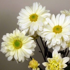№ 1 Хризантема Enbee Wedding Cream