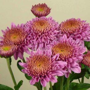 № 33 Хризантема Blenda Purple