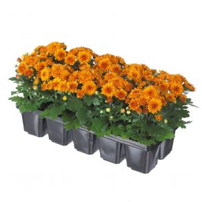 № 32 Хризантема Baby Mum Orange