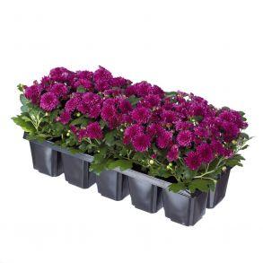 № 30 Хризантема Baby Mum Purple
