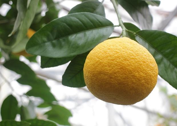 Грейпфруты купить