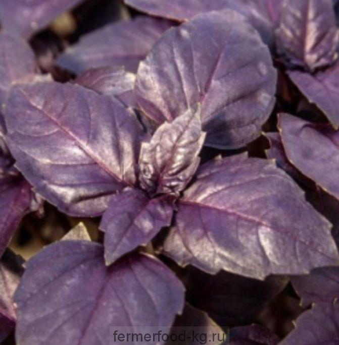 Базилик фиолетовый /100 гр