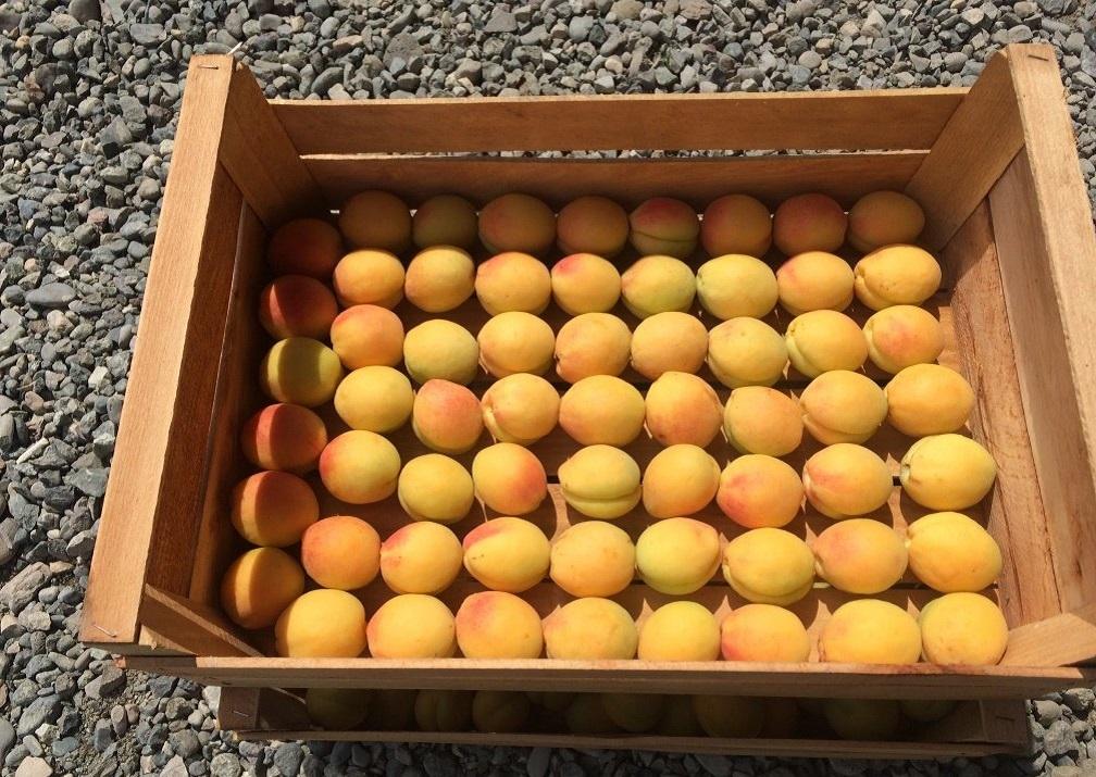 Купить абрикосы оптом
