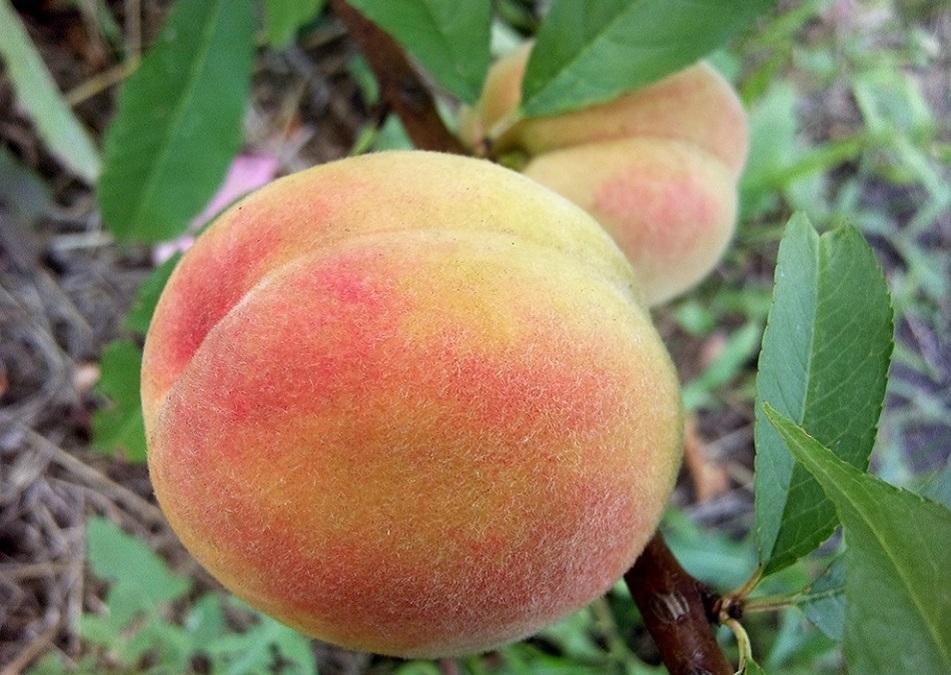 Купить персики оптом