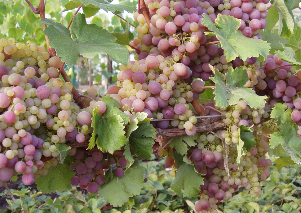 Купить виноград оптом