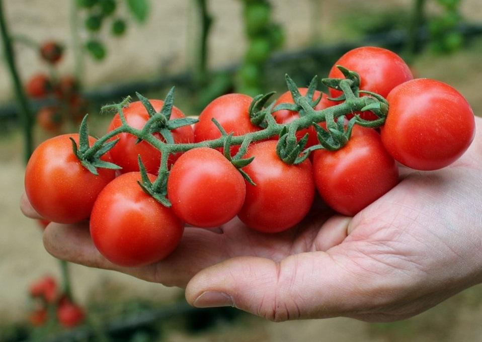 Купить томаты оптом