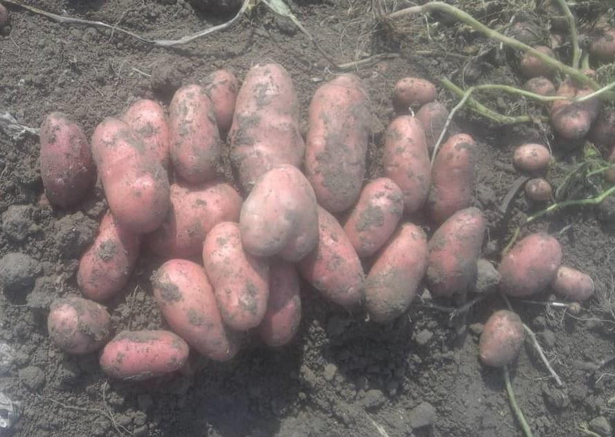Купить картофель оптом