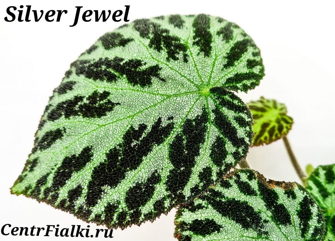 Begonia Silver Jewel