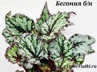 Бегония б/н взрослое растение