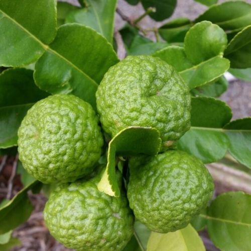 Листья каффрского лайма   10 г
