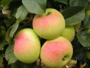 Яблоня традиционная Имрус