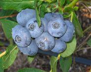 Голубика Патриот (Vaccinium corymbosum Patriot)