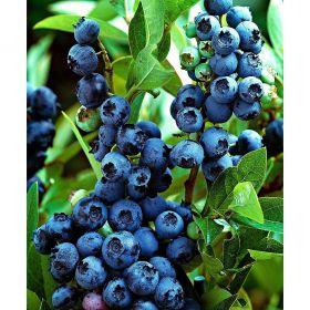 Голубика садовая Джерси (Vaccinium corymbosum Jersey)