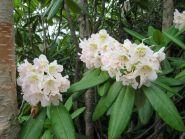Рододендрон короткоплодный (рододендрон Фори, Rhododendron brachycarpum)