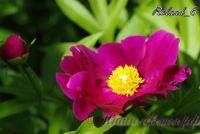 Пион травянистый 'Роланд' /  Paeonia 'Roland'