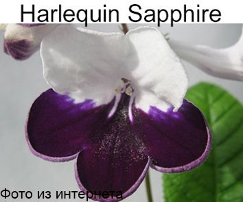 Harlequine Sapphire (R.Dibley)