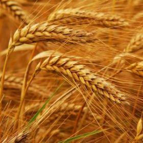 Протеины пшеницы (30 г.)