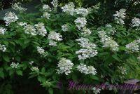 Гортензия метельчатая 'Юник' / Hydrangea paniculata 'Unique'