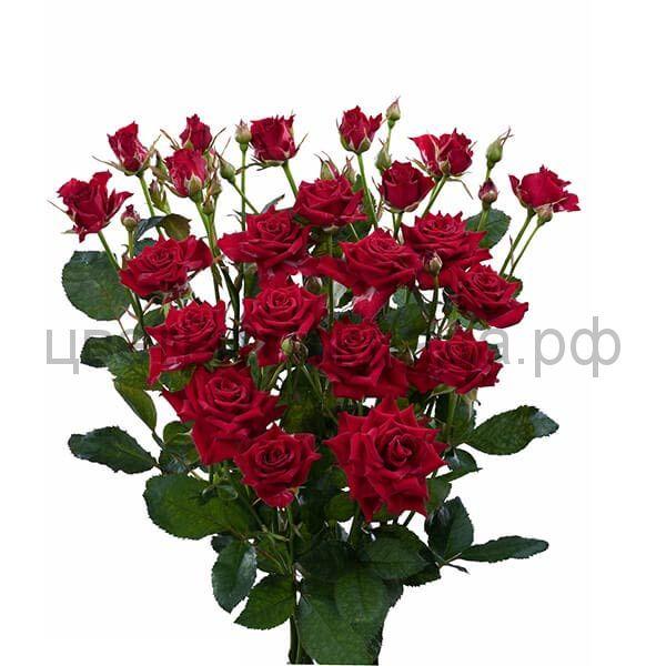 Роза 70 Спрей Мирабель